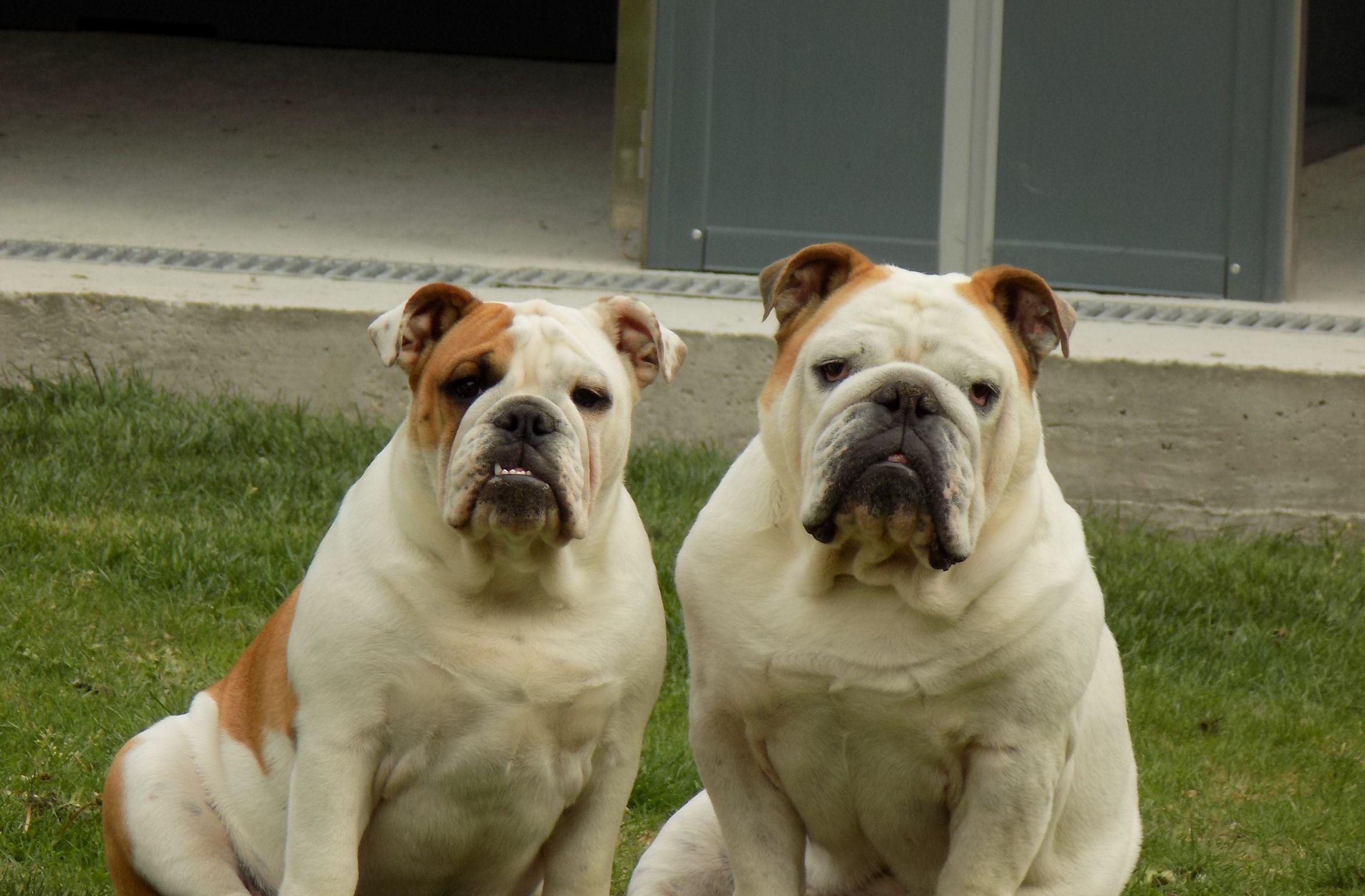 Allevamento Selezione Vendita</br>Bulldog Inglese